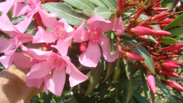 Jardinerie vente arbres et arbustes p pinieres dauphin - Engrais pour laurier rose ...